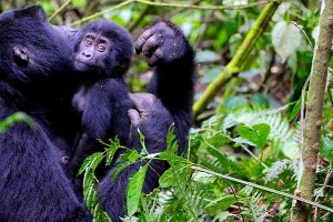 6 Days Gorilla Tracking Tour