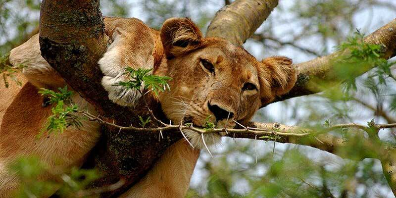 queen-elizabeth-national–tree-climbing-lion-in-