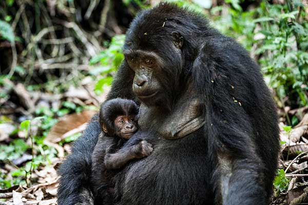 5 Days Mountain Gorillas and Chimpanzees Uganda tour