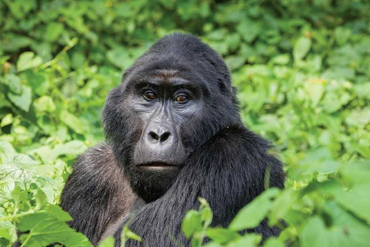 11 Days Best of Uganda Gorillas, Chimps & Wildlife Safari