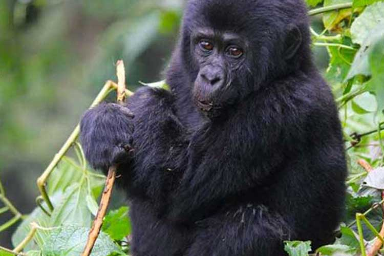 5 Days Gorilla Fly in Safari with 2X Gorilla Trekking